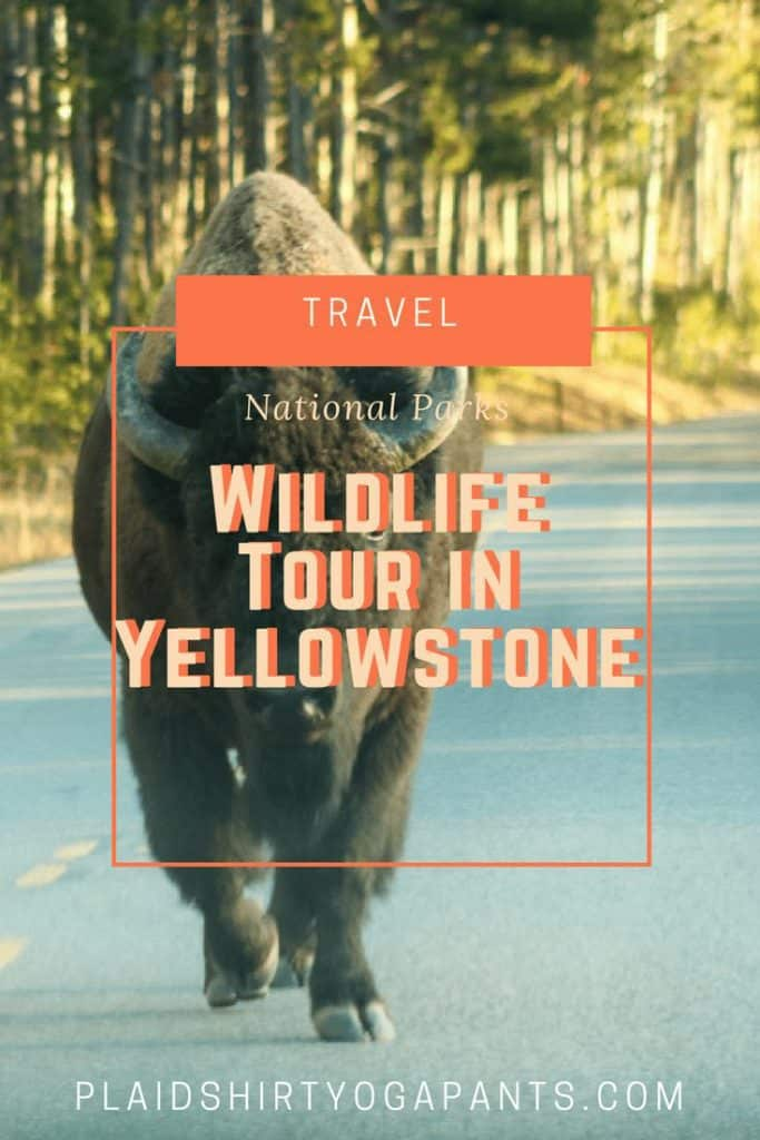 I recently used Viator to book a wildlife tour with Yellowstone Guidelines in Yellowstone National Park. Click to read my review of my amazing experience.